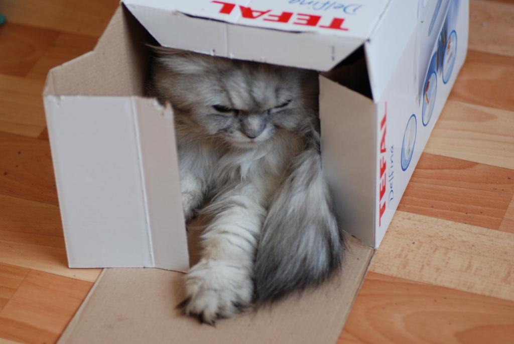 段ボールにこもる猫